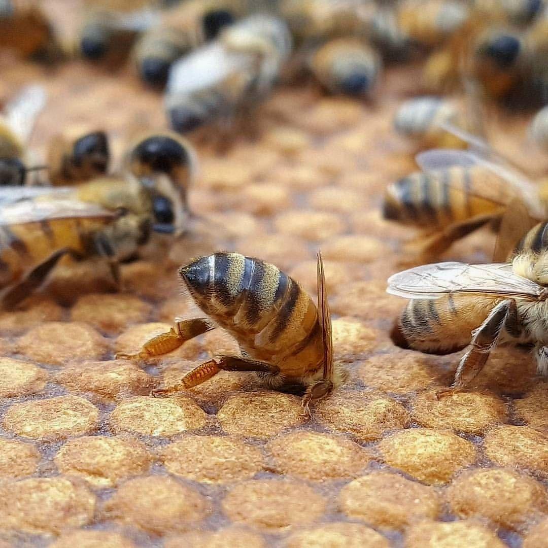 Bumblebees bees savethebees honeybees beekeeping