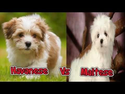 Havanese Dog Versus Maltese Dog Maltese Dogs Havanese Dogs