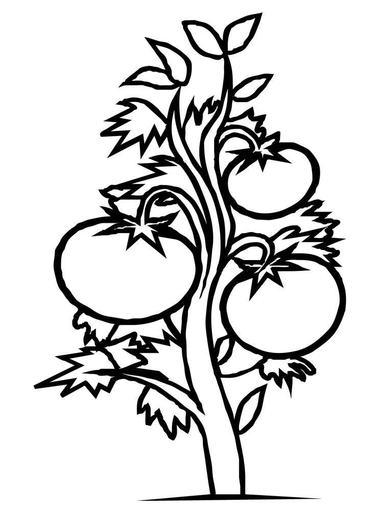Bean Plant Coloring Page Plants Are One Of The Creatures That Occupy This Earth His Life Can Sustain The Lives Of Other Living Thi Tanaman Tomat Warna Gambar