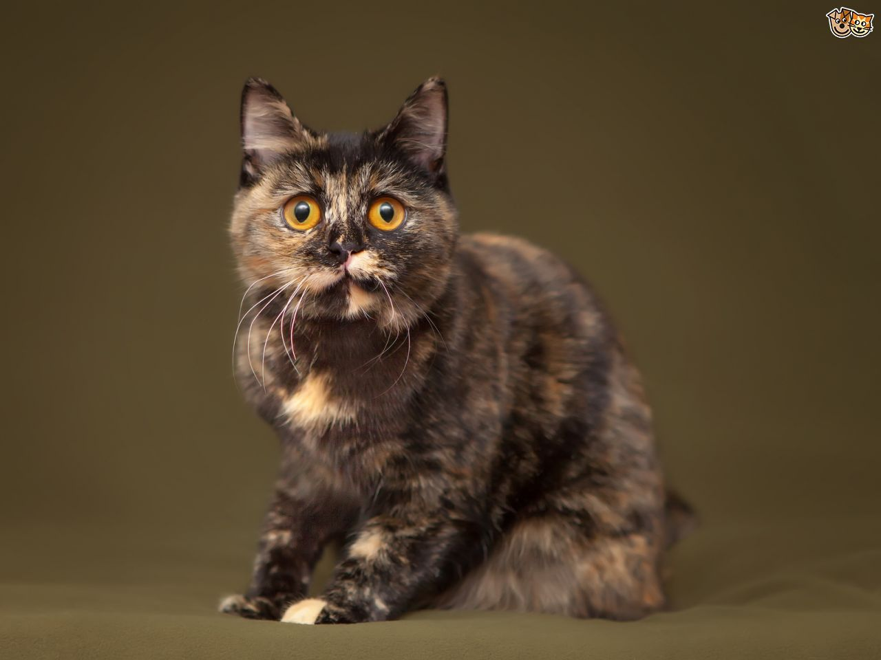Seven interesting facts about tortoiseshell and calico cats