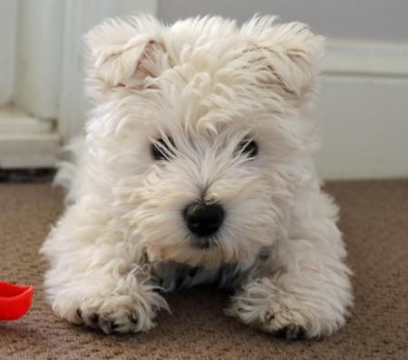 West Highland Terrier I Wonder If Our Pup Will Look Like This Right Now His Eyes Aren T Even Open West Highland Terrier Puppy West Highland Terrier Westies