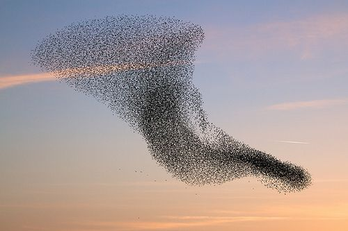 Image result for starlings murmuration