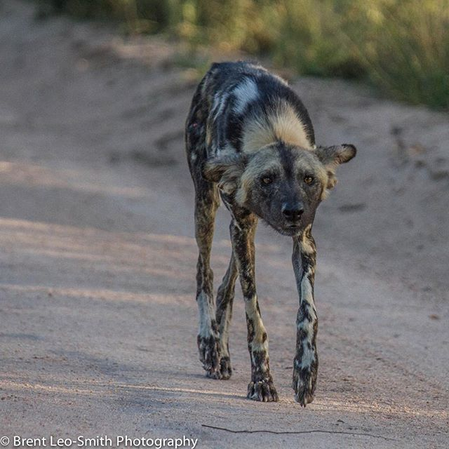 Time for #safarilive hopefully the #African #wilddogs are still around! Come join us to find out! Www.wildsafarilive.com or www. Wildearth.tv @wildearthofficial @natgeowild.hd @natgeowild #safari #southafrica #endangered #endangeredspecies #paintedwolf #lovemyjob 10-22-15 by Brent Leo Smith