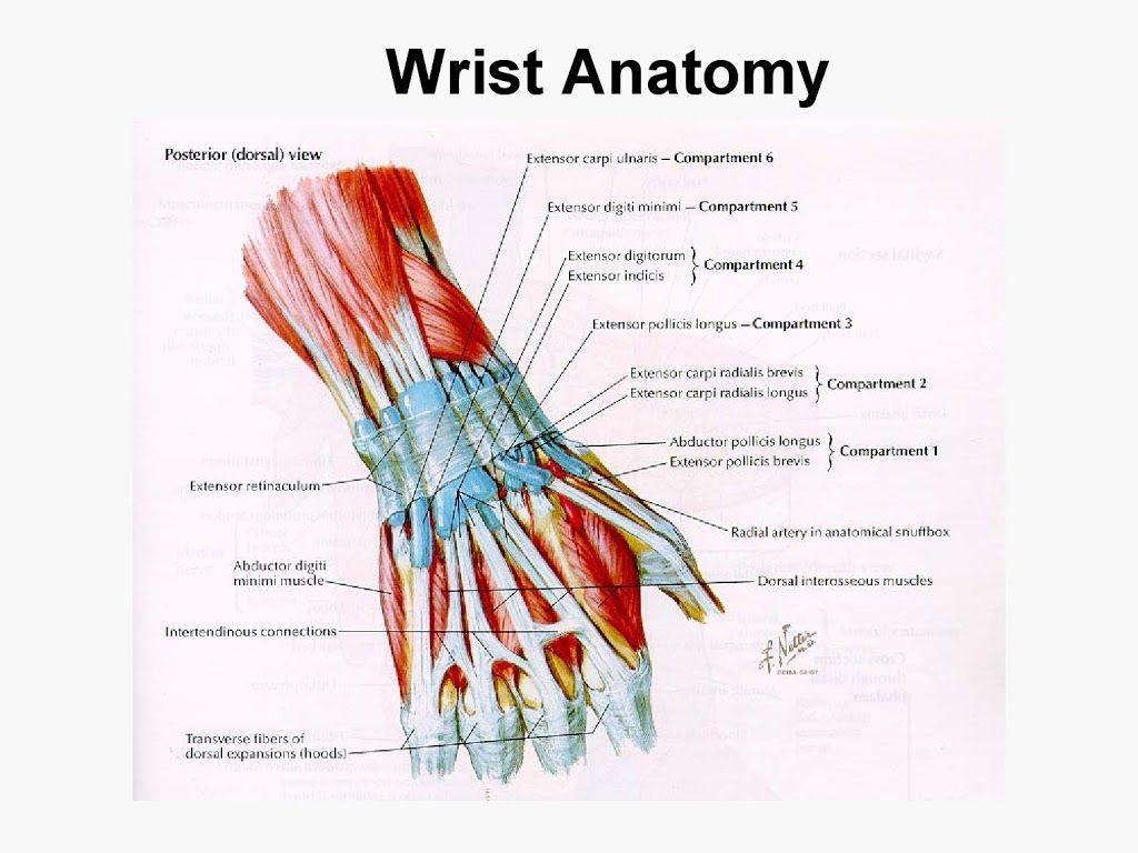 Upper extremity anatomy - arteries , veins , muscles | Anatomy ...