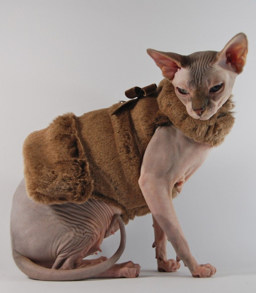 Image result for pinterest  sphynx