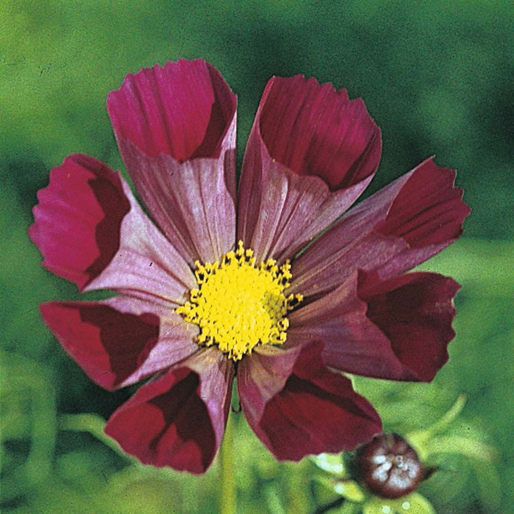Cosmos Bipinnatus Pied Piper Red Half Hardy Annual Seeds Thompson Morgan Cosmos Flowers Flower Seeds Annual Flowers
