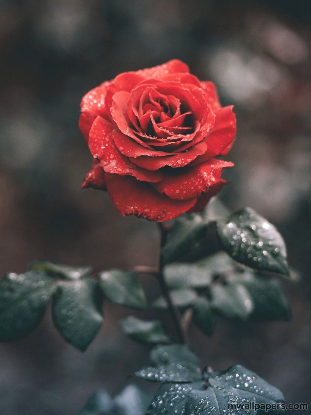 Red Rose Images Hd Wallpapers Photos Pictures Love Wallpaper 1080p Rose Flower Photos Love Rose Flower Love Rose Images
