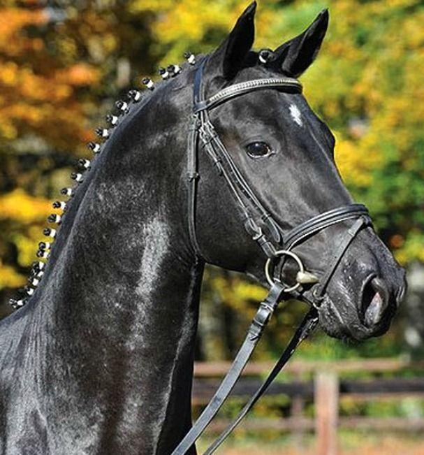 Pferd Trakehner