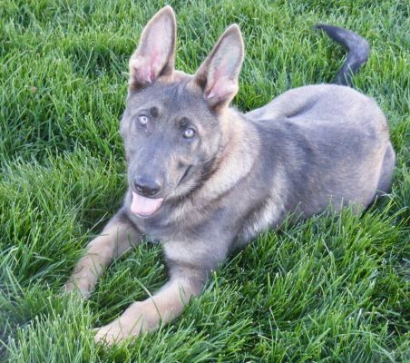 Blue German Shepherd Blue German Shepherd Sable Questa Von Der