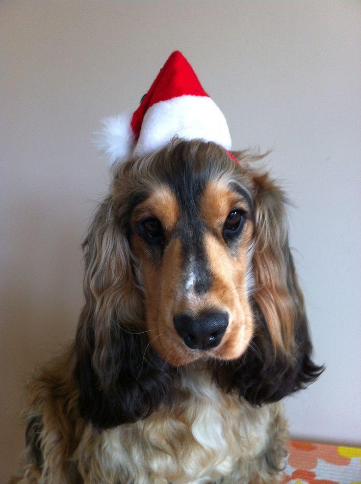 "Our Sable Cocker Spaniel ""Flynn"" set for Christmas"