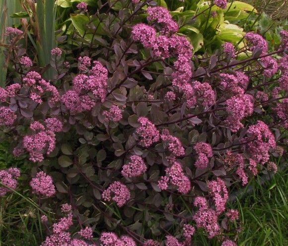 Have this in the flowerbed: Sedum 'Vera Jameson'