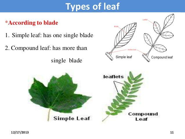 Types of leaves Simple leaf compound leaf Palmately 12/17 ...