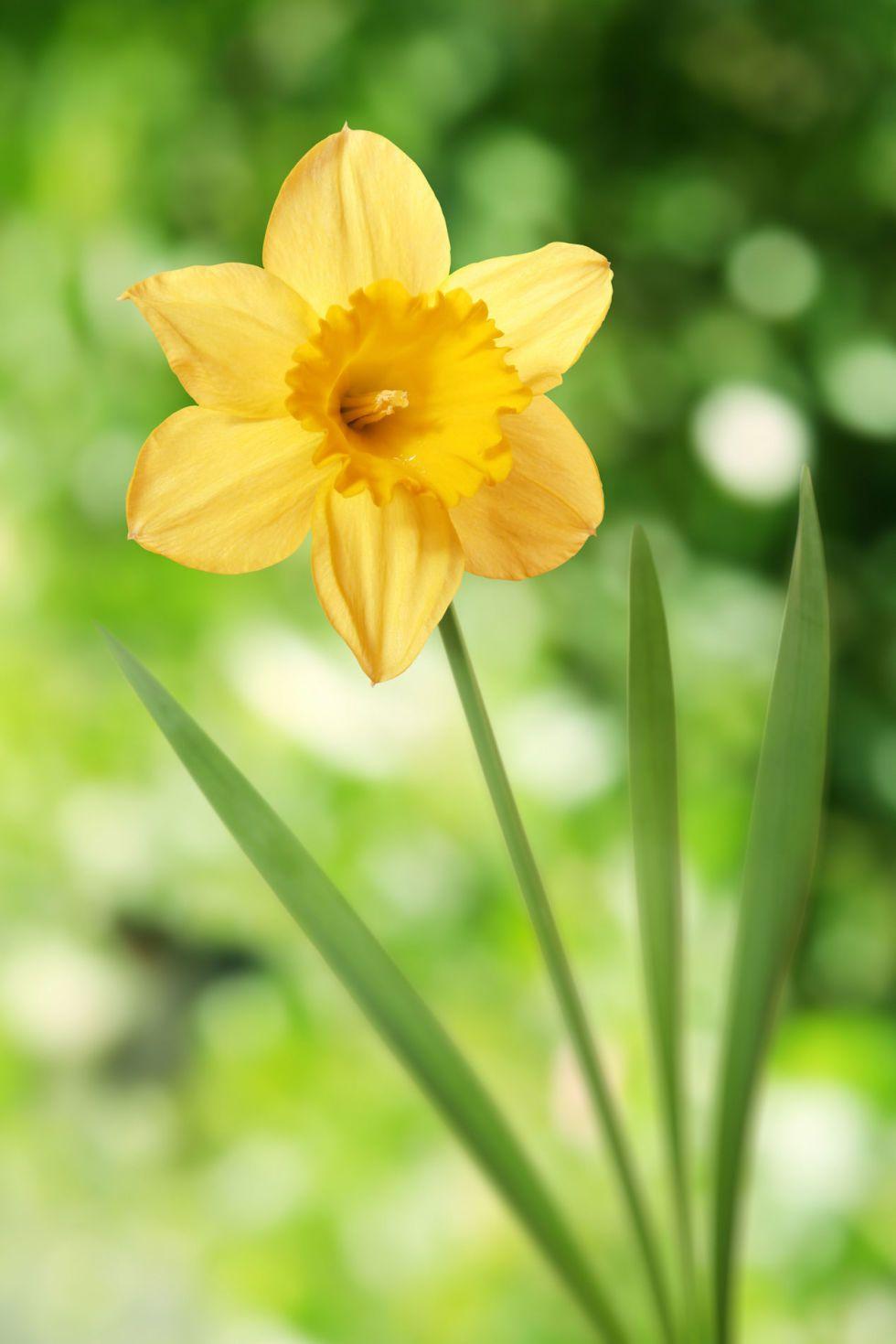 14 Facts Every Daffodil Devotee Should Know Daffodils Wonderful Flowers Daffodil Flower
