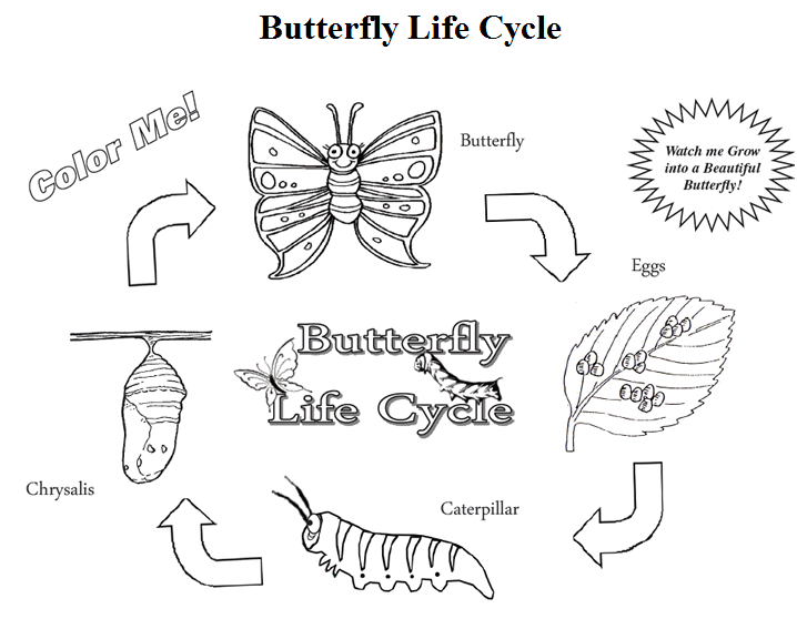 Butterfly Life Cycle Butterfly Life Cycle Life Cycles Butterfly Coloring Page