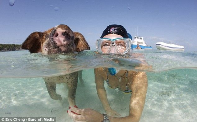 Beach The Hy Pigs That Love To Swim In Caribbean And We Re Not Telling Porkies