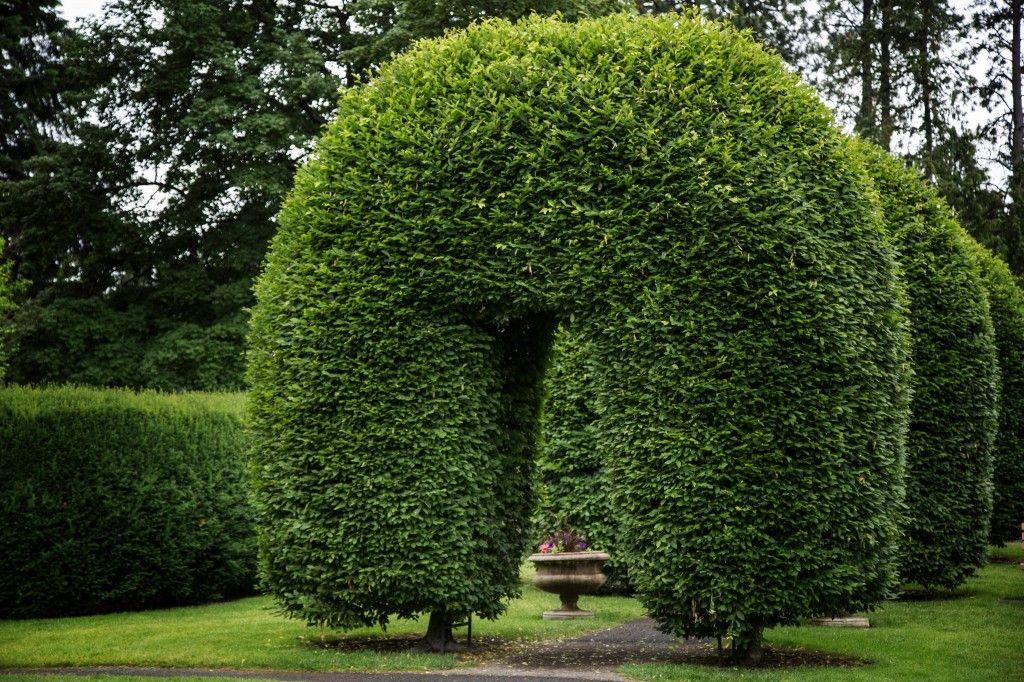 The Useful Hornbeam   Tower Perennial Gardens