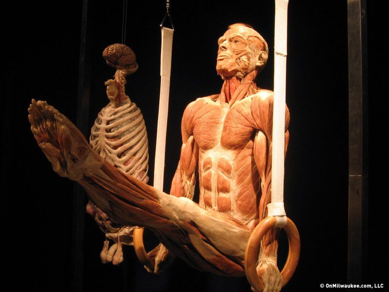 """the """"body world"""" exhibit. 