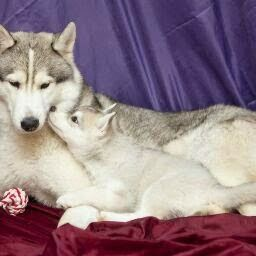 Pin By Robert Night On Huskies Dogs Snow Dogs Puppies