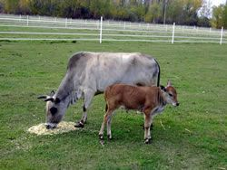 These Are Zebu Cattle They Are Known For Their Long Floppy Ears And