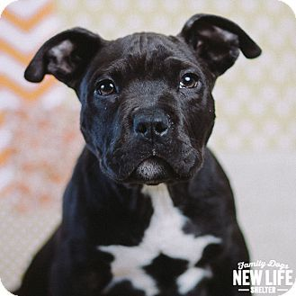 Portland Or Pit Bull Terrier Meet Drogon A Puppy For Adoption