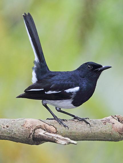 Suara Kacer Betina Hewan Betina Burung