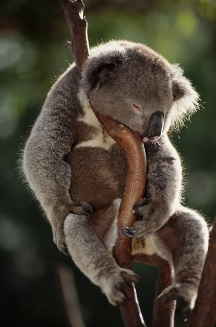 Adorable Koala bear, A...
