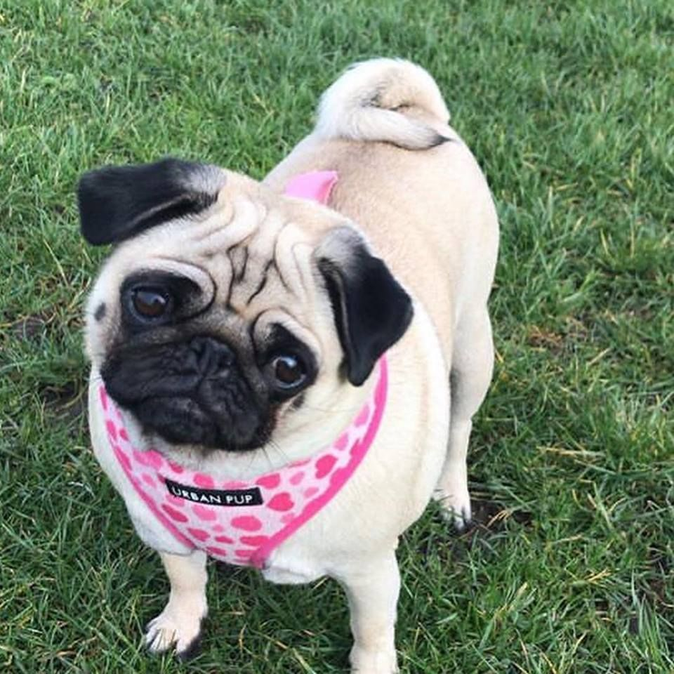 Urban Pup Pink Heart Soft Harness Available At Www Ilovepugs Co Uk