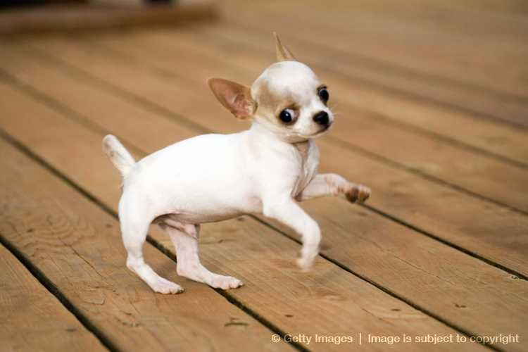 Yahoo Image Search Results For Chihuahua Puppies Chihuahua