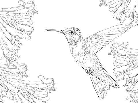 Colibrí de garganta roja Dibujo para colorear   Dibujos   Pinterest ...