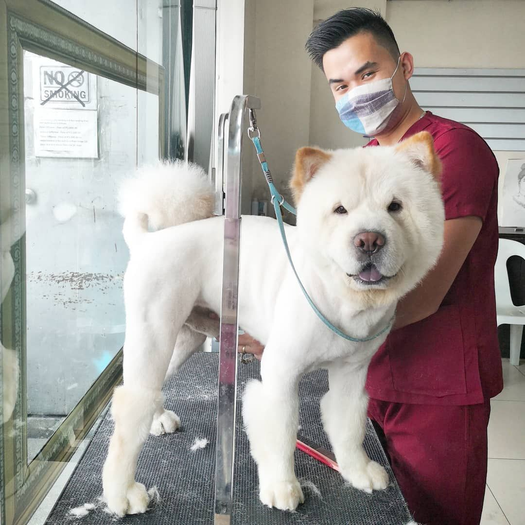 Do you like my Chow-Chow boots?  Full groom starts at Php350 . Additional rates may vary for desired style/fur cut. For further inquiries kindly contact our reception desk at 475 5026 or 0939-933-0455. We are open from 8am to 7pm daily. Vet 10am to 5pm tues and weds. Cafe 10am to 5pm tues to sun. Thank you.  Do you like my Chow-Chow boots?  Full groom starts at Php350 . Additional rates may vary for desired style/fur cut. For further inquiries kindly contact our reception desk at 475 5026 or 093
