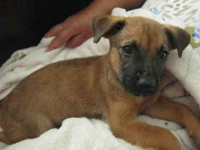 Hello My Name Is Ally I Am Located In San Antonio Acs Shelter Id A271280 I Am Spayed Female Brown And Black German She Animal Shelter Humane Society Animals