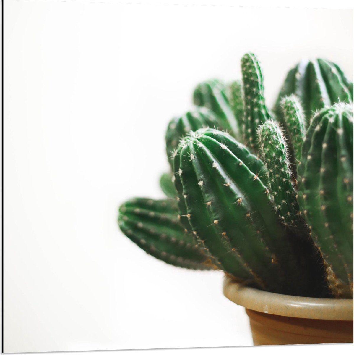 Dibond Cactusplant In Pot 80x80cm Foto Op Aluminium Wanddecoratie Van Metaal In 2021 Potten Foto Metaal