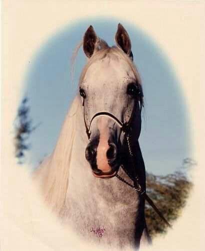 Farlanes Pride Farlane X Mahalann V Taj Mahal Foaled June 9 1976 In Canada Farlanes Pride Was Practically Unbeata Arabian Horse Beautiful Horses Horses