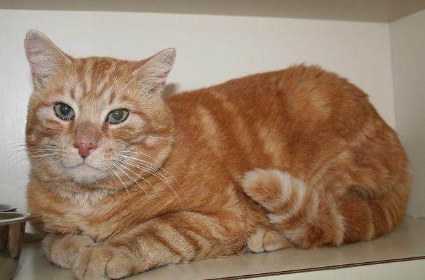 Orange Cat Breeds Cute Cats Pictures