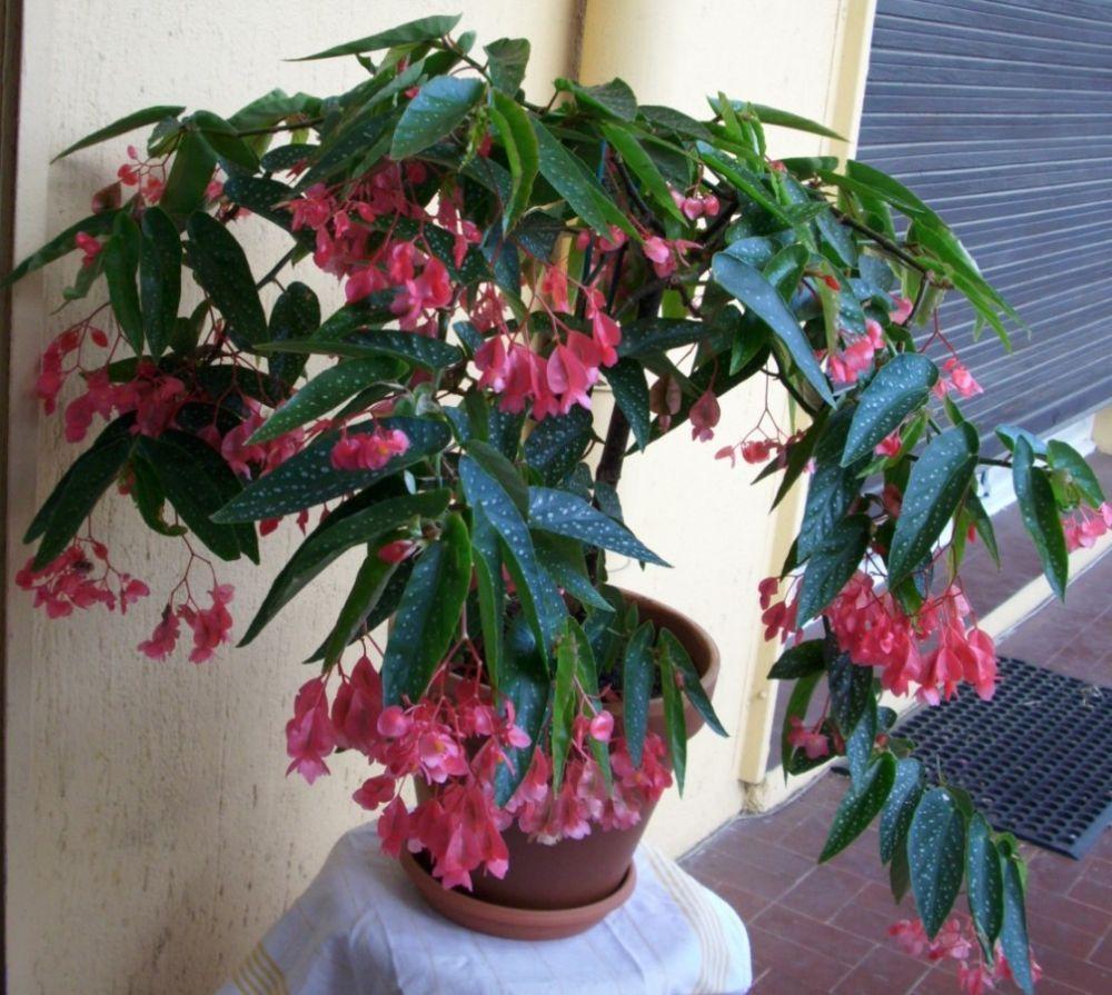 Begonia Tamaya Begonia Maculata Begonia Planting Flowers