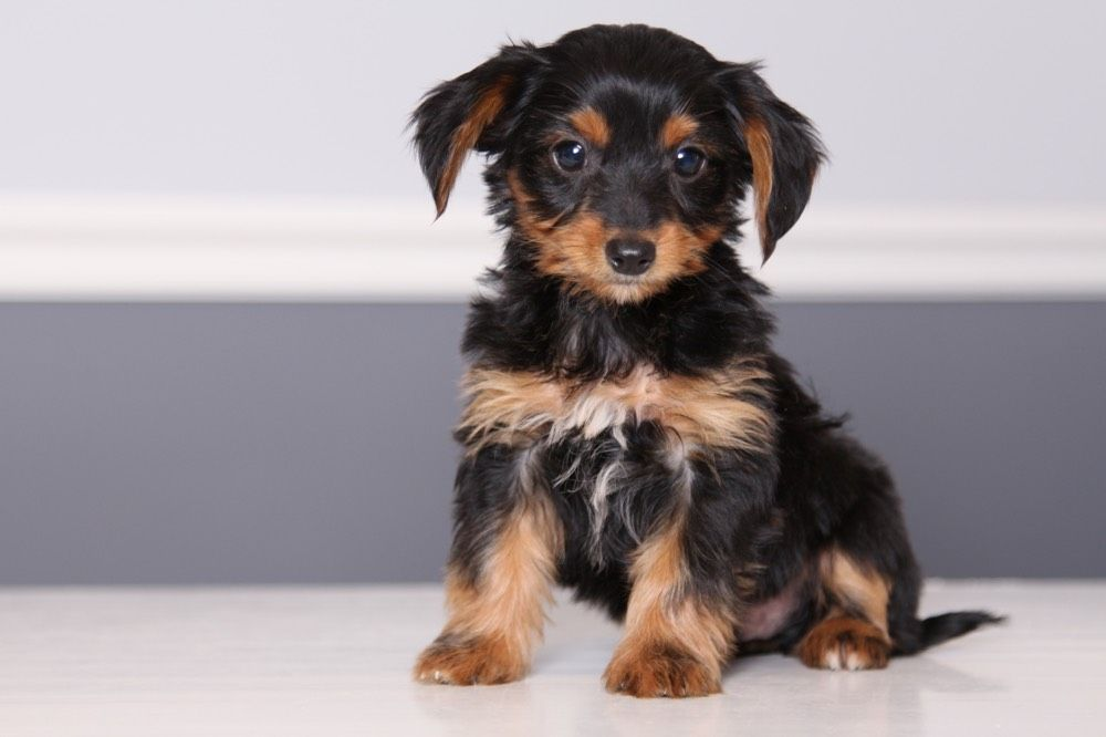 Dorkie Puppies Facts Characteristics Price Yorkshire