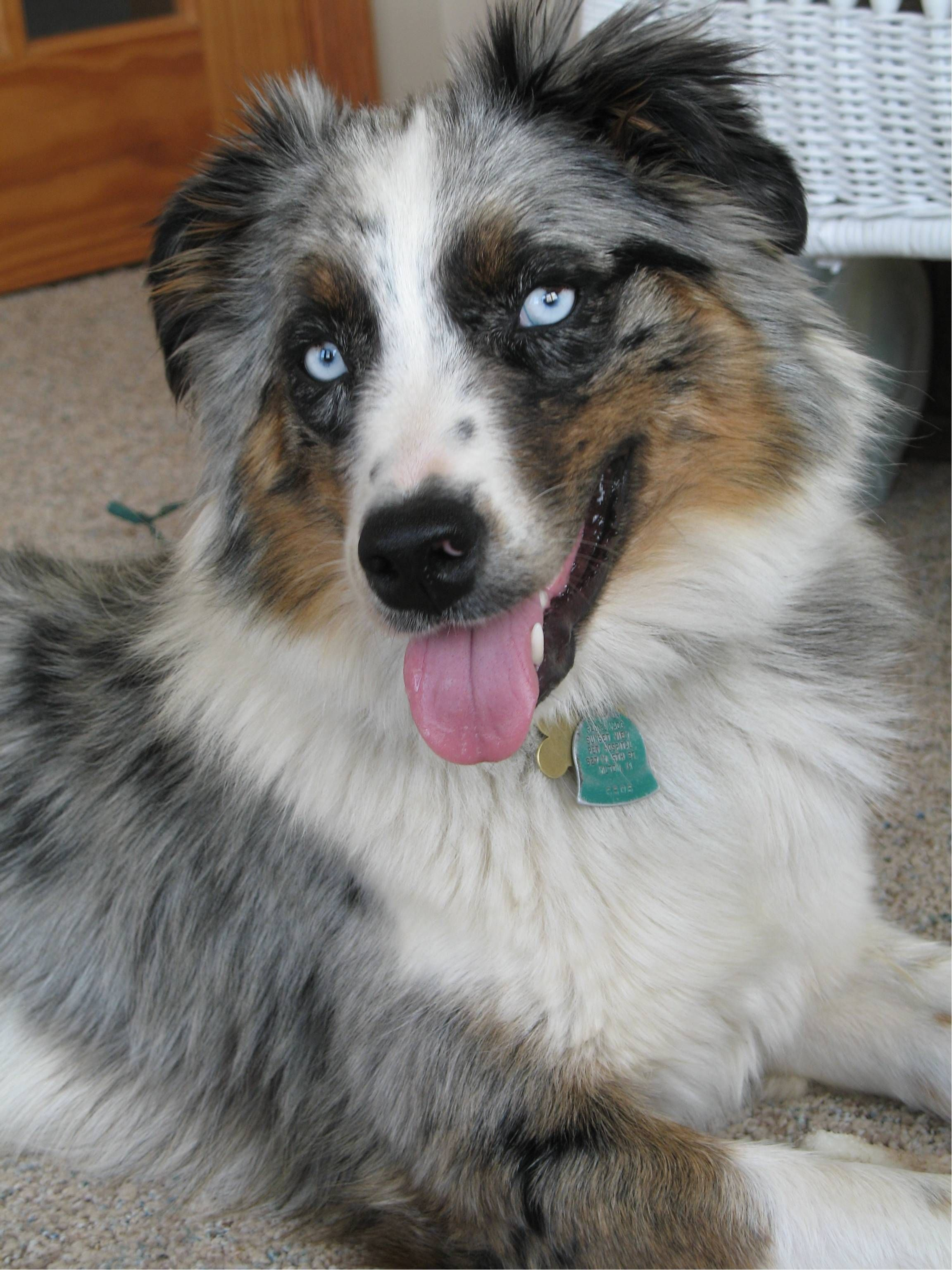 Our Dog Maddy Akc Australian Shepherd Blue Merle With Copper