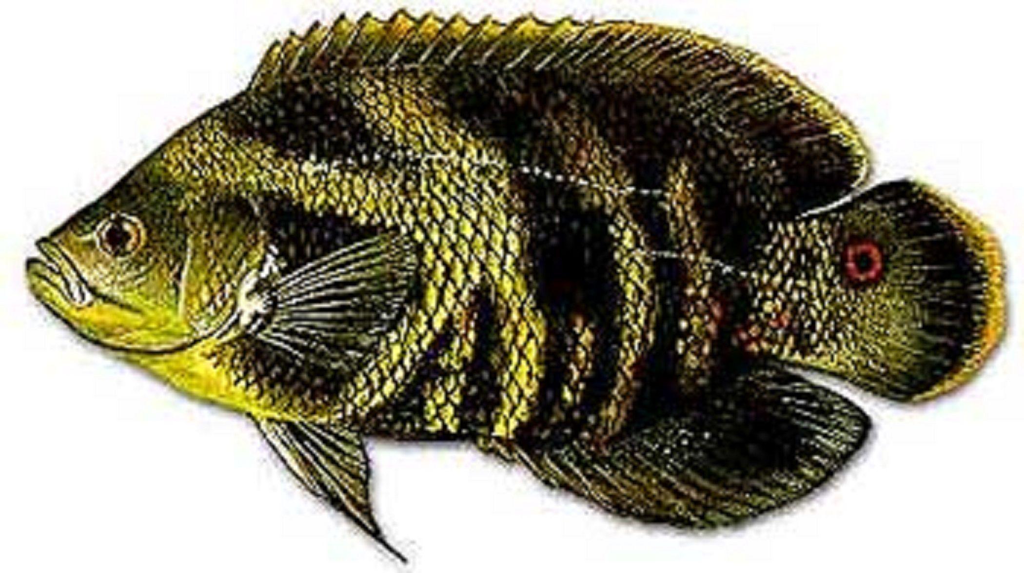 "Art illustration - Lakes ""freshwater fish"" - Oscar (fish ..."
