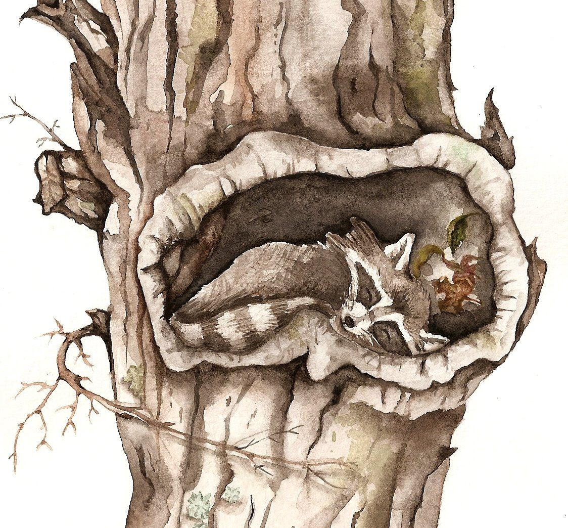 Große Kunstdrucke Sleeping Raccoon In Tree Hollow Art Print Of Watercolor