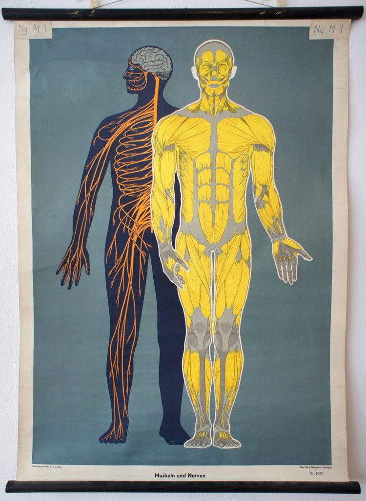 Muskeln und Nerven, published by Der neue Schulmann (c.a. 1960 ...