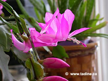 Schlumbergera Jardin Plante D Interieur Cactus Plants Et Garden