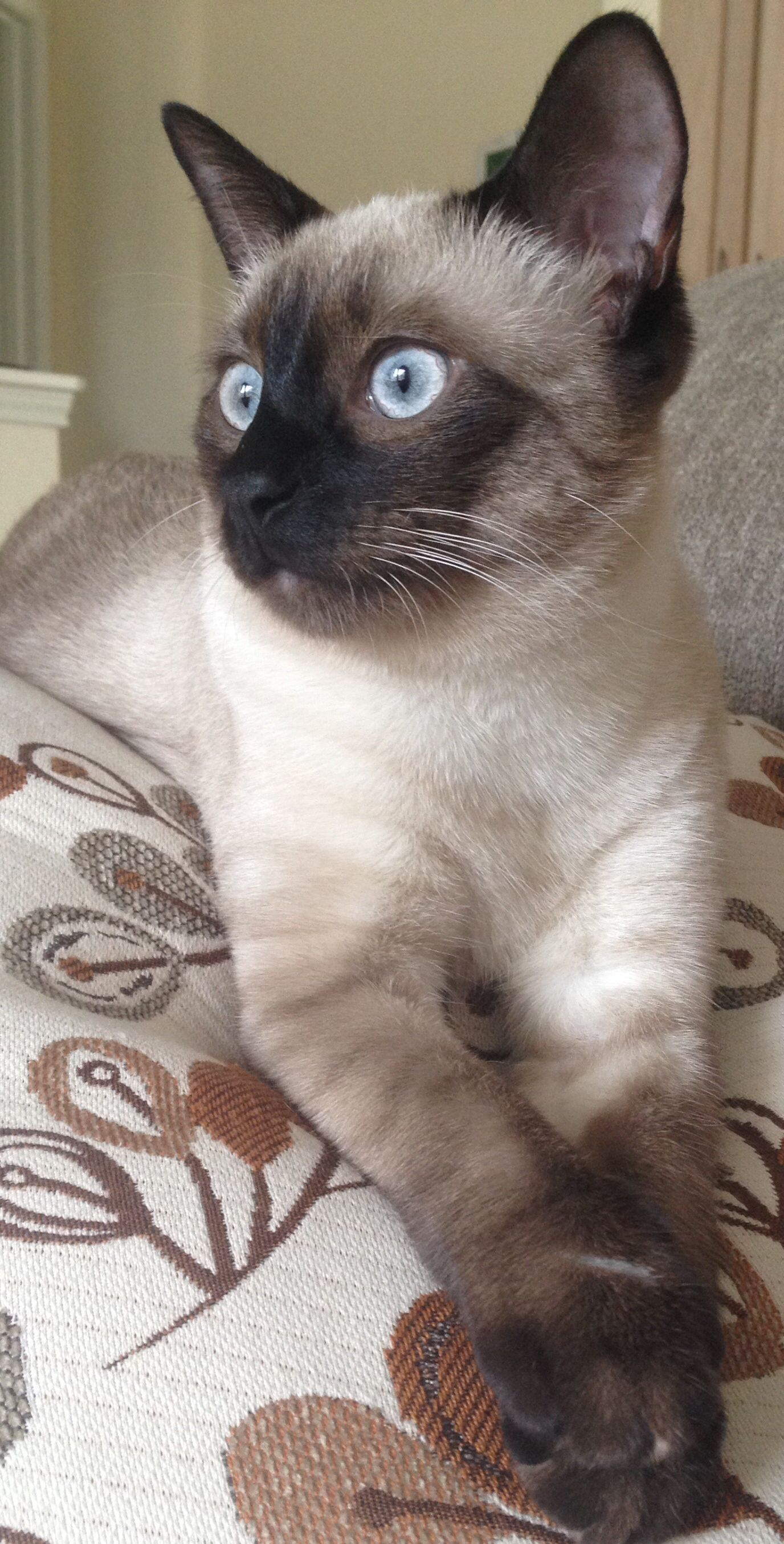 Part Russian blue and siamese Russian blue