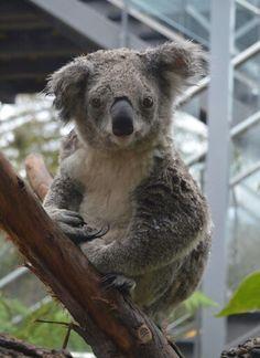 Prentresultaat vir die ouer van 'n klein koala beer