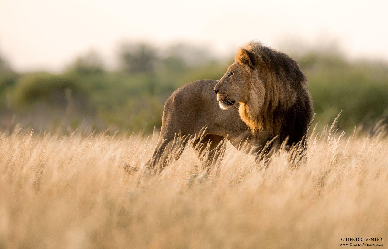 Black maned Kalahari Lion by Hendri Venter on 500px