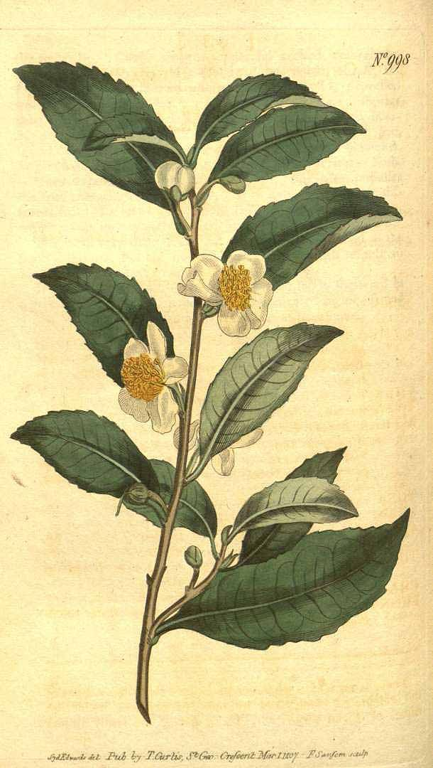 Camellia Sinensis Botanical Drawings Plant Illustration Botanical Illustration