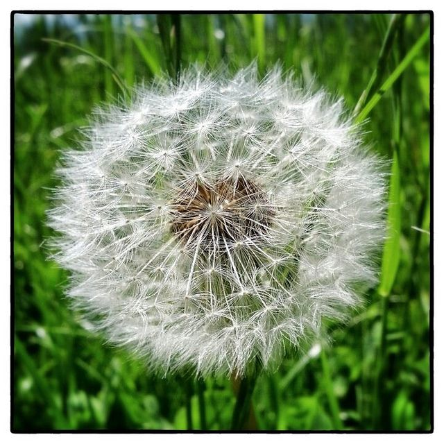 Pusteblume Dandelion Dandelion Wish Flowers Photography