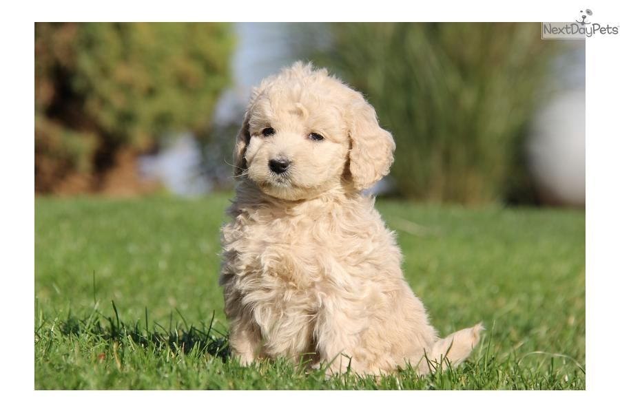 Meet Female A Cute Goldendoodle Puppy For Sale For 1 150 Disney