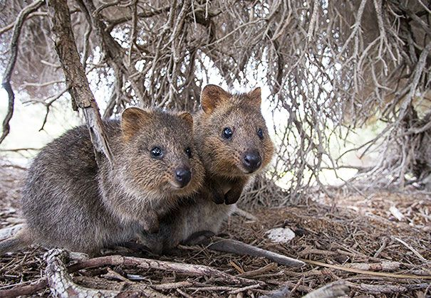 Quokkas Are The Happiest Animals In The World   Funny animals, Cute  animals, Happy animals