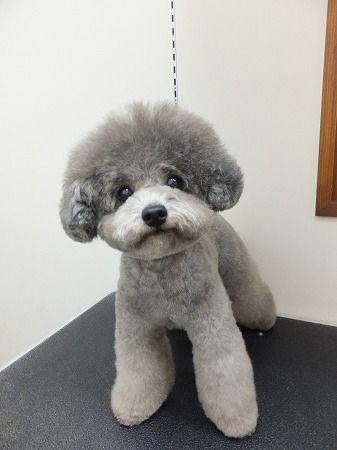 ヘアカタログ トイプードル dog signスタッフ日記 トイ
