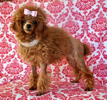 Stunning Toy Poodle Princess She Is Perfection Sold Moving To